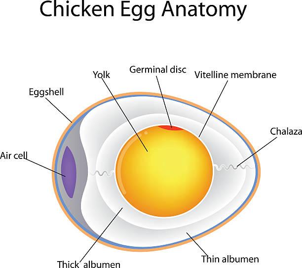 incubate chicken eggs