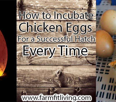 How to Incubate Chicken Eggs for a Successful Hatch Every Time