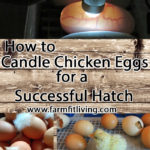 How to Candle Chicken Eggs for a Successful Hatch