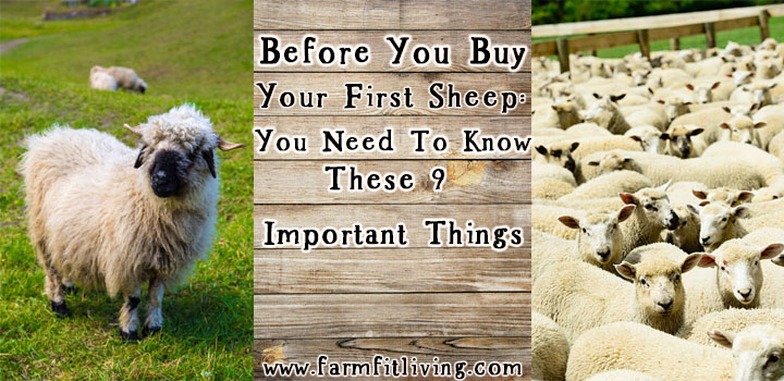 Before You Buy Your First Sheep: You Need To Know These 9 Important Things