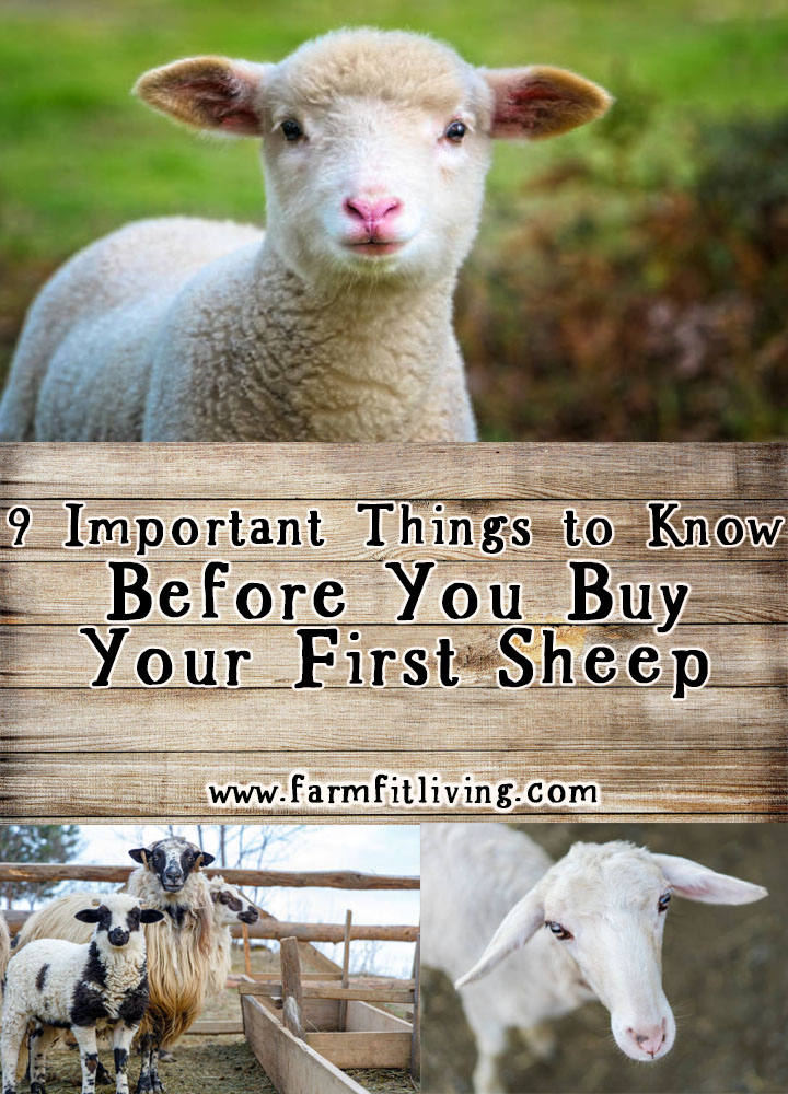 before you buy your first sheep